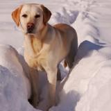 yellow-labrador-retriever-742085_1280